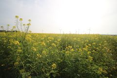 Field of yellow flowers of rapeseed on a farm in Flevoland, the Netherlands. To make biodiesel Royalty Free Stock Photo