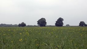 Field of yellow flowers, rapeseed field against the sky before rain stock video footage