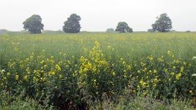 Field of yellow flowers - rapeseed field stock video