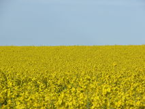 Field of Yellow Flowers (Rapeseed/Canola) Blue Sky Royalty Free Stock Photography