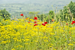 A field of yellow flowers and red flowers. A field of red flowers of beautiful blooming Poppies and other yellow flowers, with mountains, trees and the evening Stock Photo