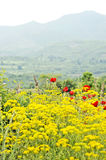 A field of yellow flowers and red flowers. A field full of the red flowers of beautiful blooming Poppies and other yellow flowers, with mountains, trees and the Stock Images