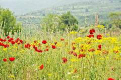 A field of yellow flowers and red flowers. A field full of the red flowers of beautiful blooming Poppies and other yellow flowers, with mountains, trees and the Stock Photography
