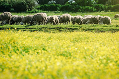 Field of yellow flowers and sheep.  Stock Photography