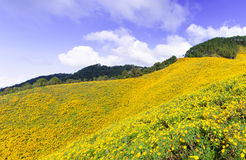 Field of yellow flowers. Situated on the foothills of the mountains Cloud covered the sky Royalty Free Stock Images