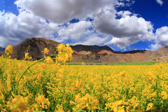 Field of yellow flowers and  sky Stock Photography