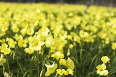 Field with yellow flowers Royalty Free Stock Image
