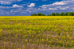 Field of yellow flowers Stock Photos