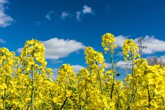 Field of yellow flowers in springfield of yellow flowers in spring stock photo