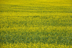 Field of yellow flowers. Summer day. field of yellow flowers Royalty Free Stock Photography