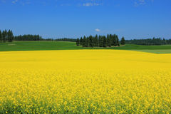 Field of yellow flowers. Royalty Free Stock Image