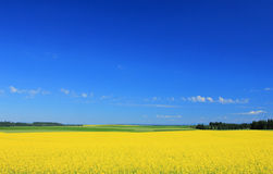 Field of yellow flowers. Royalty Free Stock Photography
