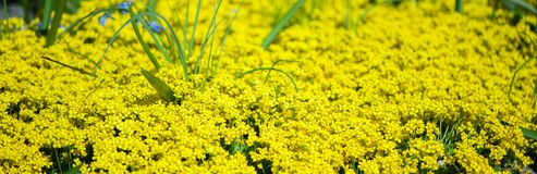 Field of yellow flowers. Summer,spring ,. Sunny background Stock Photography