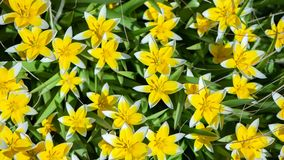 Field of yellow flowers. Summer,spring ,. Sunny background Stock Images