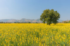 Field of yellow flowers. And trees Stock Photos