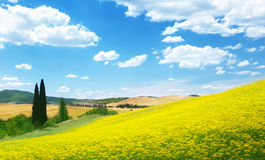 Field of yellow flowers Tuscany. Italy Royalty Free Stock Image