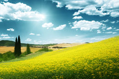 Field of yellow flowers Tuscany. In Italy Stock Photography