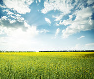 Field with yellow flowers. Under a cloudy sky Stock Photography