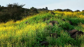 Field of yellow flowers. Video of field of yellow flowers stock footage