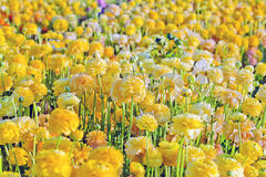 Field of yellow flowers Stock Photo