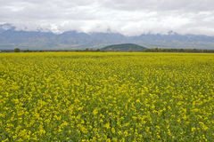 Field of a yellow grass. Field of a yellow grass on a background of mountains Stock Photography