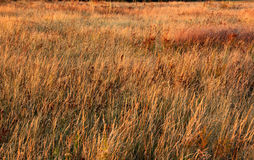 Field with yellow grass Stock Image