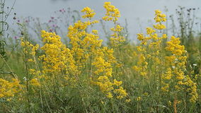 Field of a Yellow Grass stock video