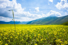 Field with Yellow Lentils Flowers Stock Photo