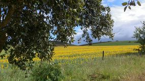 Field with yellow lupins lupinus albus in spring at the Algarve in Portugal royalty free stock photos