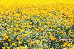 Field of yellow marigold flower in farm Royalty Free Stock Photos