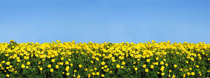 Field of yellow marigolds against a clear blue sky Stock Photos
