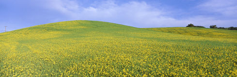 Field of yellow mustard plants Stock Image