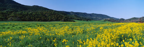 Field of yellow mustard plants Stock Photo