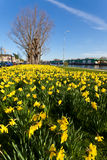 Field with yellow narcissus flowers Stock Image