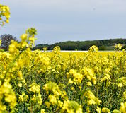 Field of yellow oil rape Royalty Free Stock Images