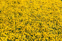 Field of yellow Pansy viola flowers. Flower texture.Top view. Stock Photo
