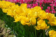 Field of Yellow and Pink Tulips Stock Images