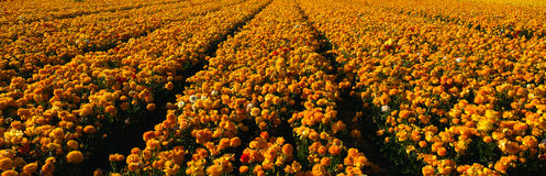 Field of yellow ranunculus flowers Royalty Free Stock Image