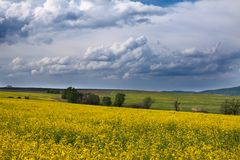 Field with yellow rape Royalty Free Stock Image