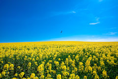 Field of yellow rape Royalty Free Stock Photos