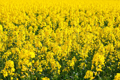 Field of yellow rape Stock Image