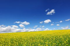 Field of yellow rape Stock Images