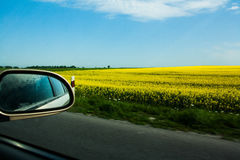 Field of yellow rape. Against the blue sky Stock Photography