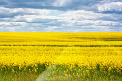 Field of yellow rape. Against cloudy blue sky Royalty Free Stock Image