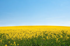 Field of yellow rape against the sky Royalty Free Stock Photography
