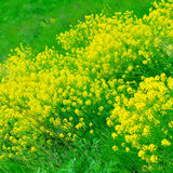 A field of yellow Rape Flowers Stock Images