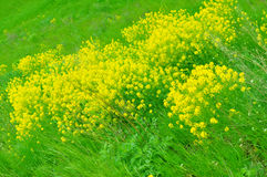 A field of yellow Rape Flowers Royalty Free Stock Photo