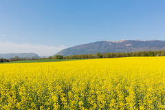 Field of yellow rape flowers on a background of mountains Jura in France in the spring Royalty Free Stock Image