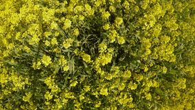 Field of yellow rape flowers panorama view from above, fly insects, bright sunny day deep in winter in cyprus. Ancient Olive Trees, a collection of landscapes in stock video