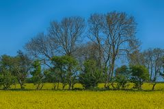 Field of Yellow Seed Oil Flowers. Early summer stock photography